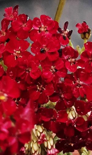 Achillea millefolium `Red Velvet´